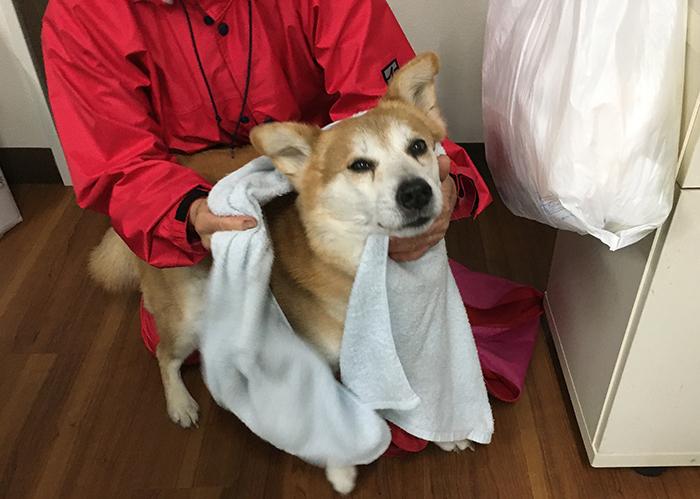 ケア,お手入れ,雨,濡れる,保護犬,お散歩,マザー,ルーフ,福岡