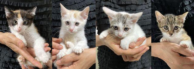 赤ちゃん猫,保護猫,里親,募集,寄付,お願い,支援
